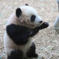 Baby panda training