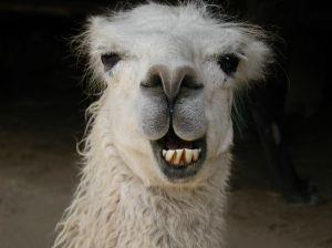 llama270977_smiling_llama