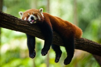 red-panda-sleeping