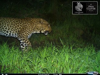 Diego (Boland Male 27/BM27) has been photographed at Vergelegen and Paul Cluver