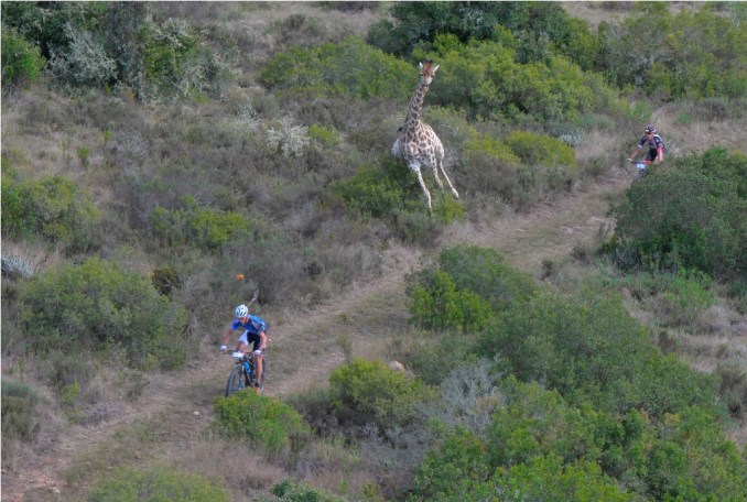 In the 2016 Momentum Health Cape Pioneer Trek, presented by Biogen, a juvenile giraffe joined the action; splitting Gerben Mos and Lucas Islitzer on a section of singletrack in the Gondwana Private Game Reserve. Photo by Zoon Cronje.