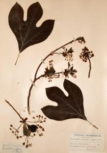 Sassafras, earl;y 20th century. Botanical specimen from the Twining Herbarium.