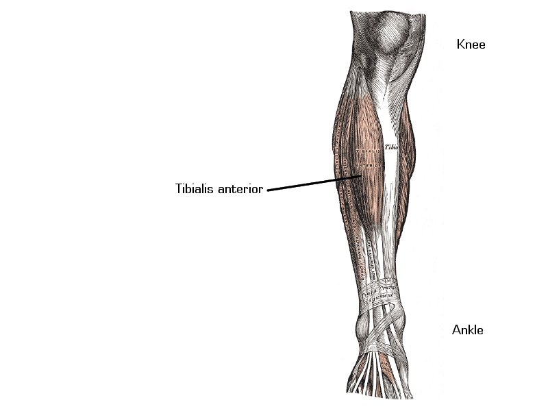 Quadriceps Exercises Exercising The Quadriceps