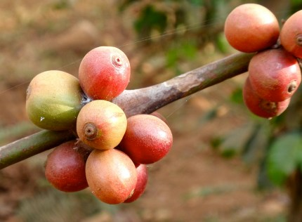 Coffee beans on a branch