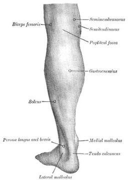 human calf