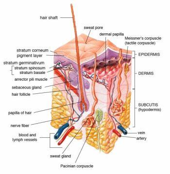 diagram of skin layers