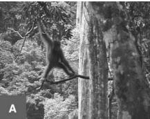 An orang-utan walking along a branch
