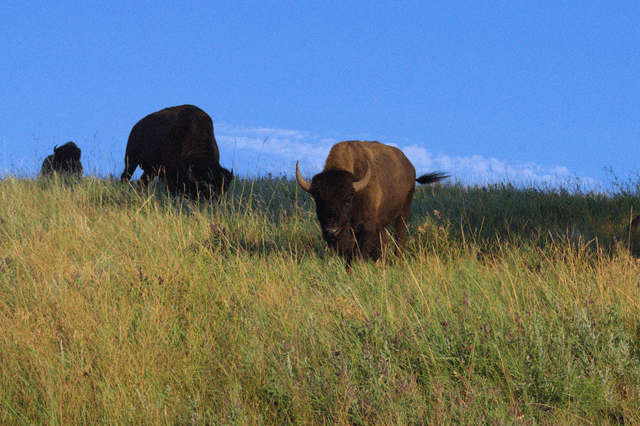 Buffalo, Wind Cave National Park, August, 2014