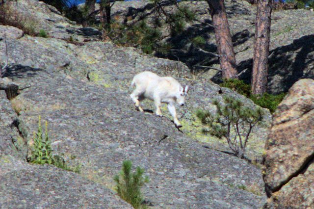 Mountain Goat, Custer State Park, South Dakota, August