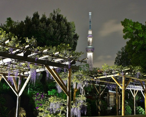 Kameido Tenjin Wisteria night illuminations