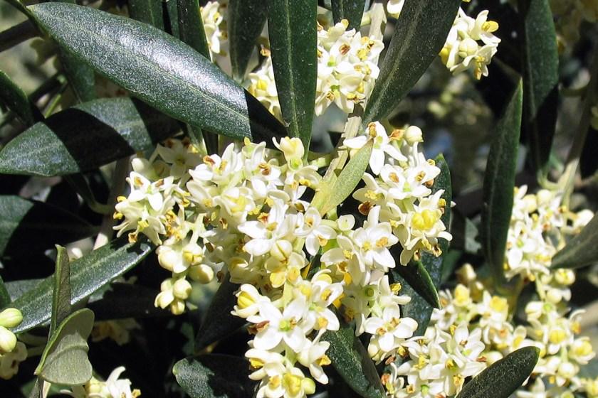 L'olivier, un arbre de symboles, de paix, de vitalité et de régénération