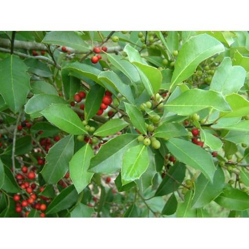 Medium Crop Of East Palatka Holly