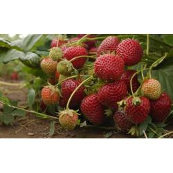 Formidable Growing Fruit Roses Native Plants Y E Central Fruit That Starts Central Oregon Extension Service Growing Fruit Roses Spanish Fruit That Starts Native Plants nice food Fruit That Starts With E