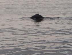 Familienwalz - Erotik einer Walfahrt - Finnwal im Sankt-Lorenz-Strom