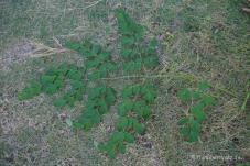 Malunggay Blätter