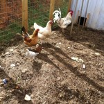 The secret life of chickens