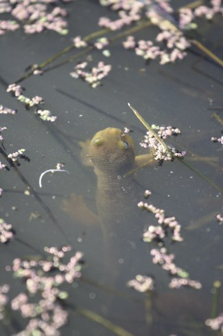 taricha-torosa.jpg