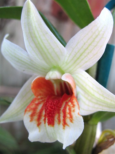 Orchid of the Week: Dendrobium Green Lantern   Brooklyn ...