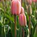 Tulipán el Turco
