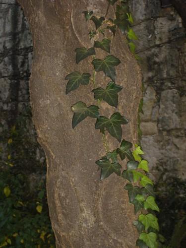 Ivy climbing up a tree
