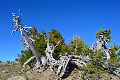 craterlake-dead-trees