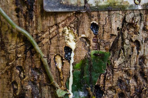 Rubber tree | Arbol de hule