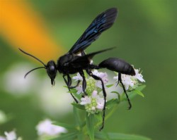Small Of Great Black Wasp