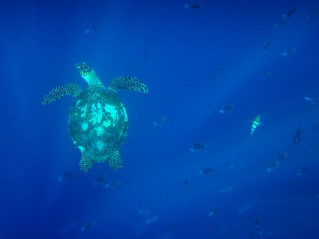 Sea turtle. Pulau Hatta
