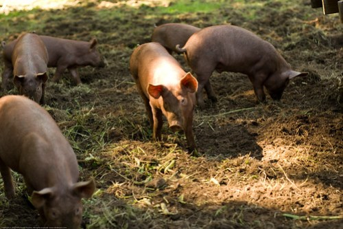 Organic tamworth pigs
