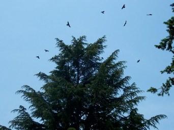 crows circling
