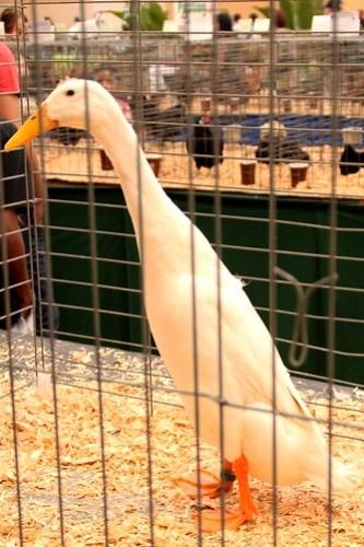san diego county fair duck