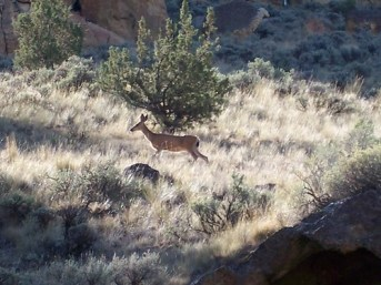 Deer at Smith Rock