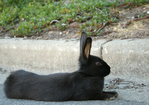 Uvic bunnies black on concrete