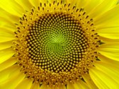 SunFlower: the Fibonacci sequence, Golden Section