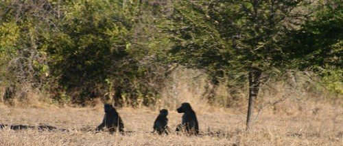 Baboons in the shade