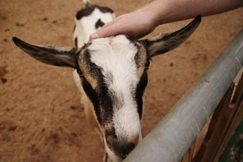 san diego county fair goat