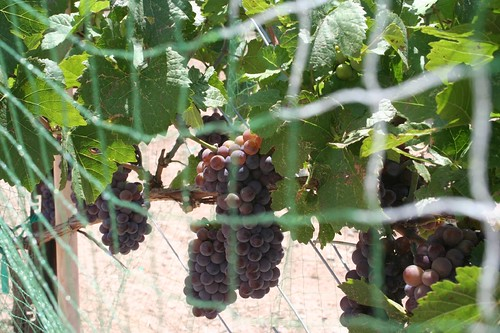 camp verde winery harvest