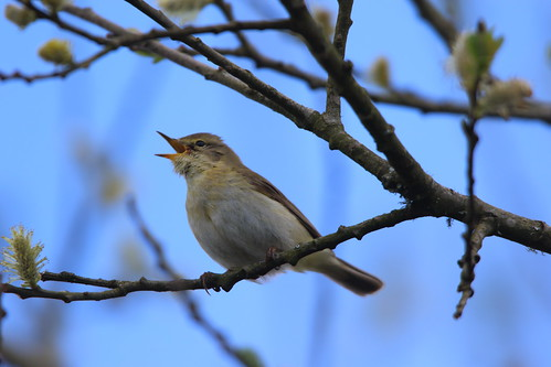 "Iberian Chiffchaff, Coverack, 16.04.16 M.Halliday • <a style=""font-size:0.8em;"" href=""http://www.flickr.com/photos/30837261@N07/26452725566/"" target=""_blank"">View on Flickr</a>"
