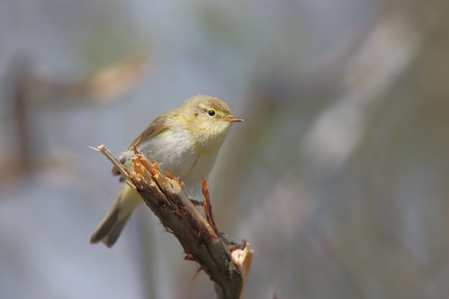 "Iberian Chiffchaff, Coverack, 16.04.16, M.Halliday • <a style=""font-size:0.8em;"" href=""http://www.flickr.com/photos/30837261@N07/26478610085/"" target=""_blank"">View on Flickr</a>"