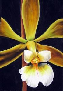 Orquídeaencyclia alboxantina