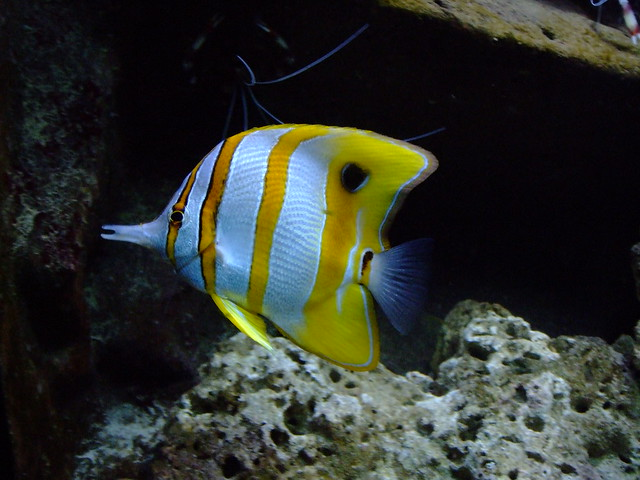 Yellow and White Striped Fish   Flickr   Photo Sharing!
