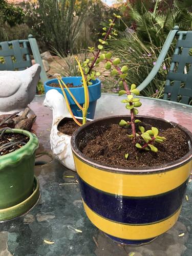 March gardening Mesa, Az www.africankelli.com