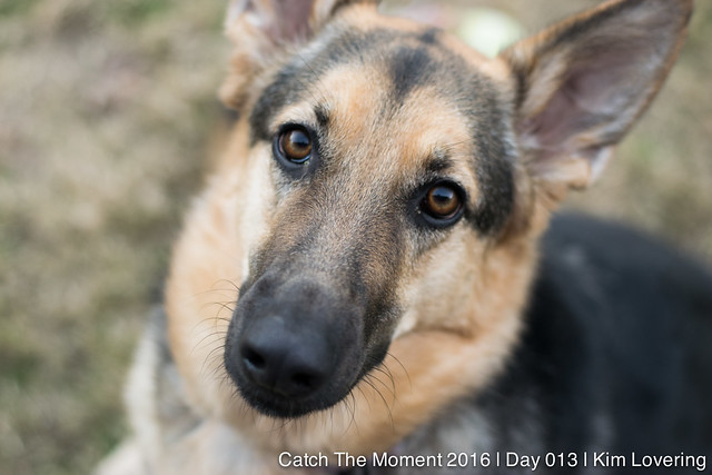 {13 of 366} Close up of German Shepherd, Scout