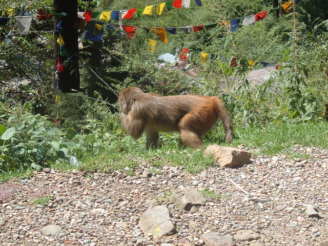 Furry friends in the outskirts of Dharamsala (monkey)