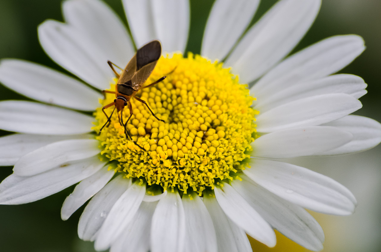 """Un insecto se alimenta del polen de las flores de margarita del """"Jardín de las Rosas"""", en la plaza central de la ciudad de San Cosme y Damián. (Elton Núñez)"""