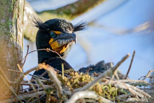 Nesting Double-crested Cormorant