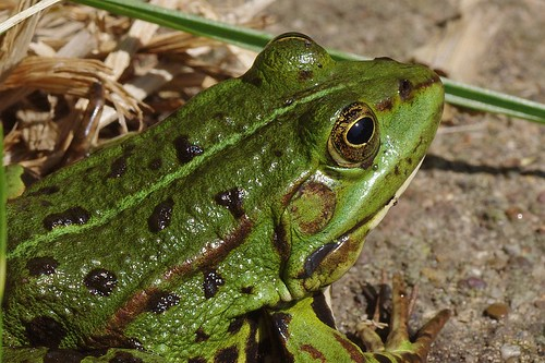 frog-166010_960_720
