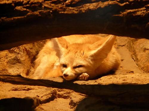 fennec-fox-77048_960_720