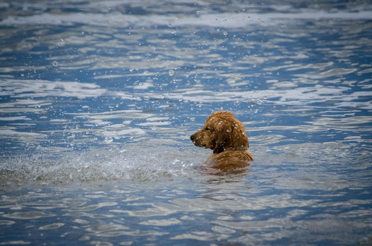 Un pequeño perro labrador no resiste la tentación y se arroja al agua, en la Playa del Rivero, en Punta del Diablo. (Elton Núñez)