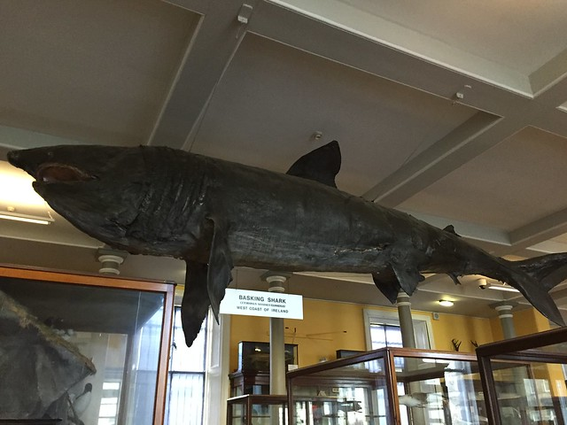 The huge basking shark, the second larger living species of fish in existence hangs from the ceiling of the ground floor of the Natural History Museum of Dublin